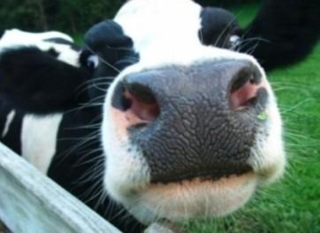 В Нижнем Тагиле из машины выпала корова