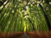 Сагано, бамбуковый лес