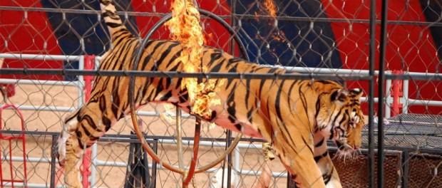 Италия запрещает использование животных в цирках