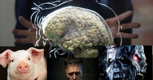 Йельские ученые научились оживлять свиной мозг