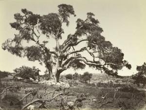 Мамврийский дуб 100 лет назад