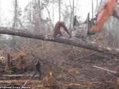 Орангутанг подрался с экскаватором спасая свой лес