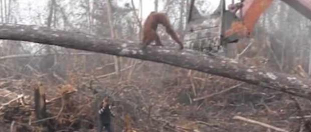 Орангутанг подрался с экскаватором, спасая свой лес