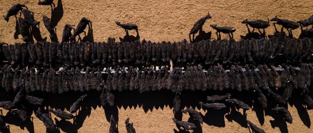 Жуткая засуха в Австралии привела к банкротству фермеров