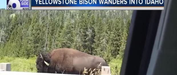 Бизоны срочно покидают Йеллоустоун
