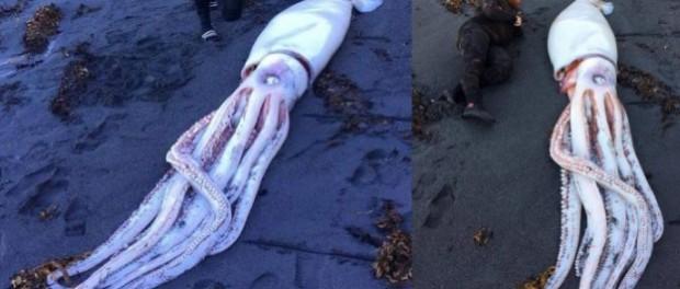 Гигантский кальмар на берегу напугал всю Новую Зеландию