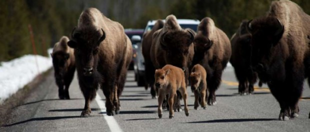 Бизоны продолжают свой уход из Йеллоустоун