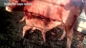 красный теленок