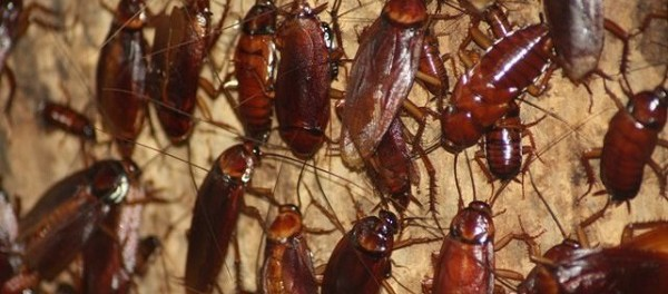 Производство тараканов в Китае идёт на миллиарды