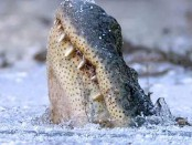 крокодилы вмерзли в лед