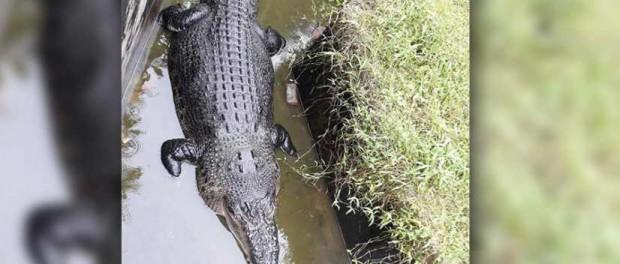 Крокодил съел женщину, когда та его пыталась покормить