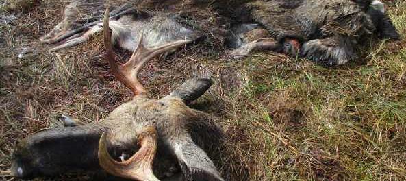 Охотник убил егеря перепутав его с лосем