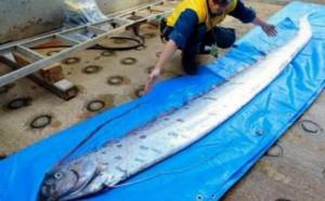 рыба ремень Япония