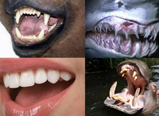 сравнение зубов человека с животными