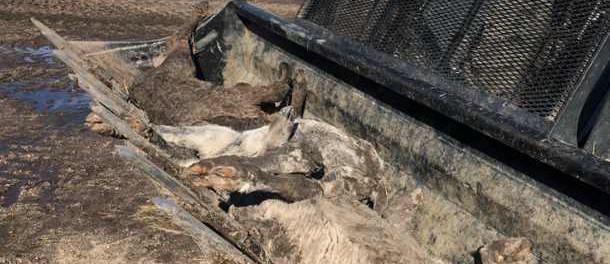 В США утонули в наводнении миллионы коров