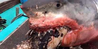 Белая акула умерла с черепахой во рту
