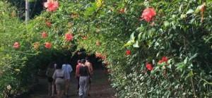 виноградник  виноградник Аяуаска в Бразилии