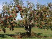 яблони гибнут в США