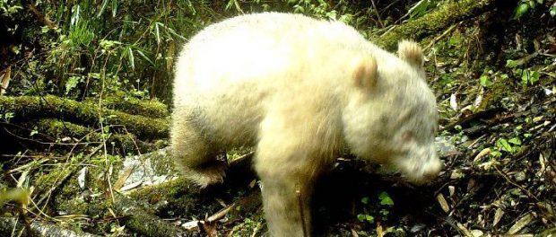 В Китае объявилась белая панда: что это значит