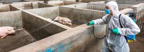 Эбола: свинину из Китая не стоит больше покупать