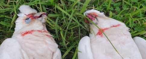 Вирус Эбола массово убивает птиц в Австралии