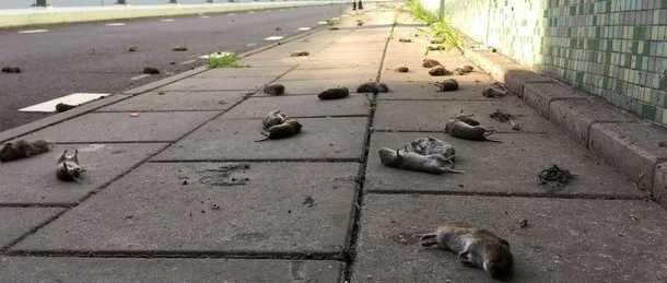 5G начал убивать крыс и мышей