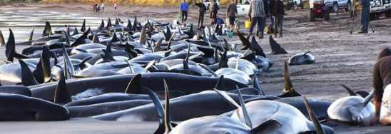 Массовое самоубийство китов на побережье США