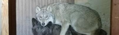 В Финляндии завели уголовное дело о скрешивании собак с волками