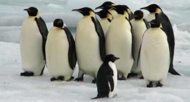 Императорские пингвины на грани вымирания