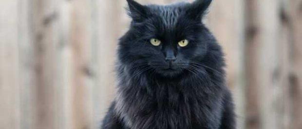 Вьетнамцы едят черных кошек, чтобы защититься от коронавируса