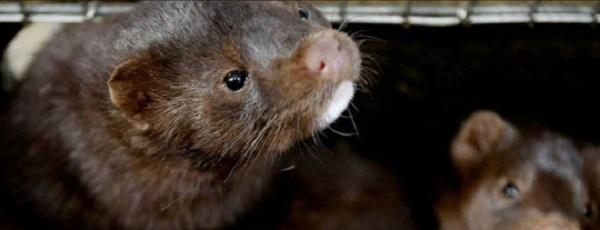 Ещё одно животное может заражать коронавирусом
