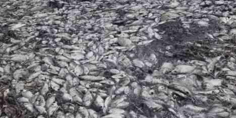 В Парагвае длинная появилась река из мертвой рыбы