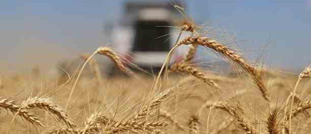 Россия превратить пшеницу в геополитическое оружие