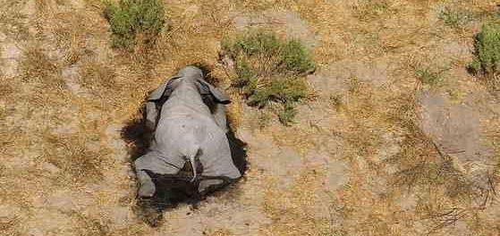 Началось массовое вымирание слонов