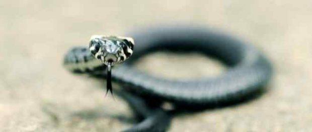 Метровая змея заползла в пасть спящей женщине в Дагестане