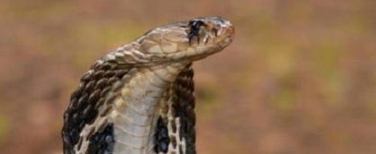 Индийцу в штаны залезла кобра
