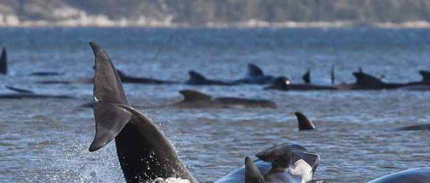 470 касаток разом покончили самоубийством возле берегов Австралии