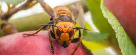 Обнаружено первое гнездо «шершней-убийц» в США